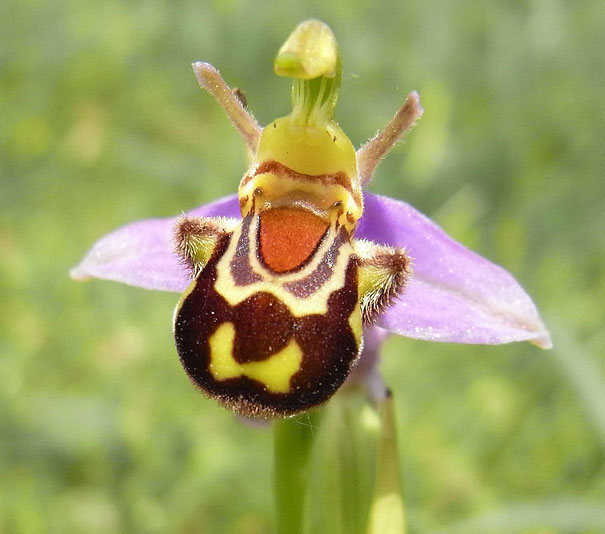 Laughing Bumble Bee Orchid (Ophrys bomybliflora)