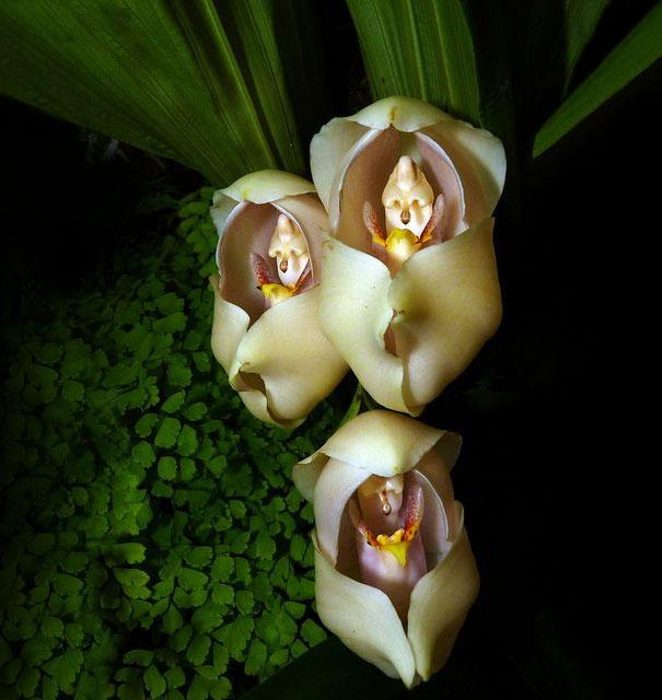 Swaddled Babies (Anguloa Uniflora)