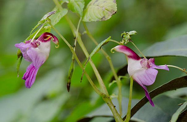 Parrot Flower (Impatiens Psittacina)
